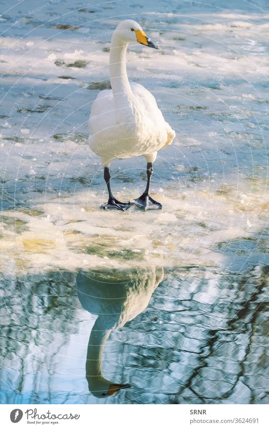 Swan on Ice animal avian avifauna beak bill bird cob cob-swan cold feathered feathery frost frosty frozen hibernal ice ice-covered perched plumage pond
