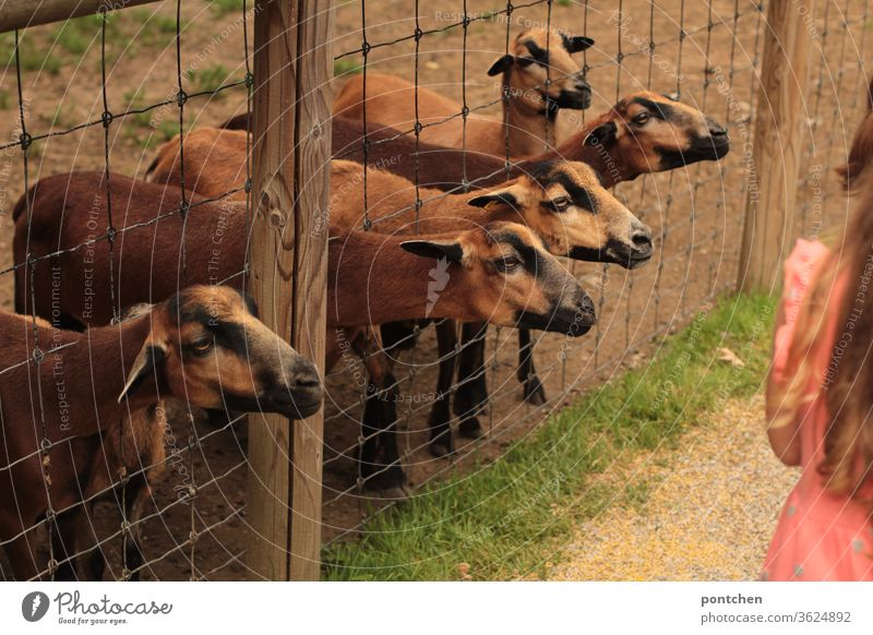 Five brown goats stretch their heads through a wire mesh fence and want to be fed. At the edge stands a girl in some distance. Hungry, greedy. Game Park Fence