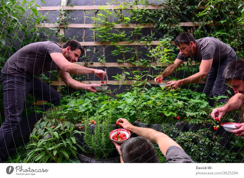 Harvest time in the strawberry bed - man harvests strawberries Strawberry Time fruit tidbit already berry fruit fruit varieties yield profitable Collector