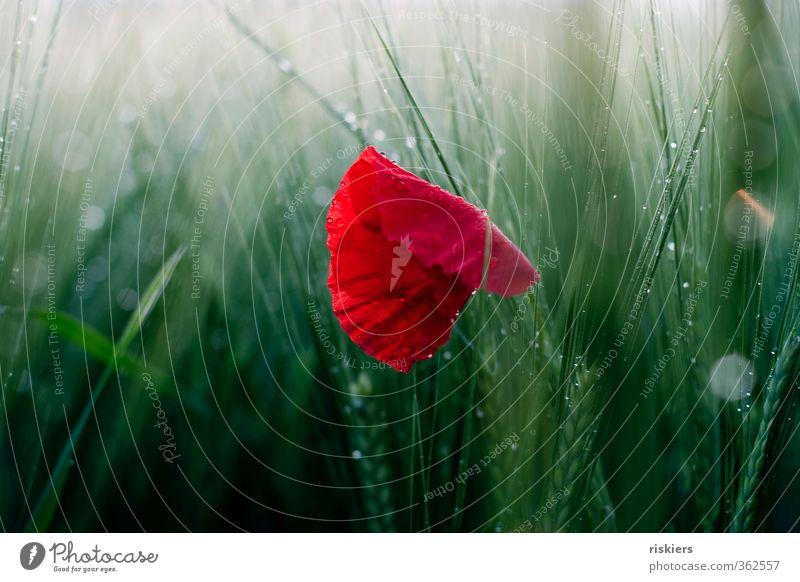 Nature Green Summer Plant Red Landscape Flower Environment Rain Field Idyll Glittering Illuminate Beautiful weather Wet Poppy
