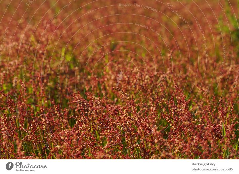 Little sorrel on a meadow, Rumex acetosella Meadow spring Growth Steppe country detail Field Landscape Environment rural Colour photo Plant Nature