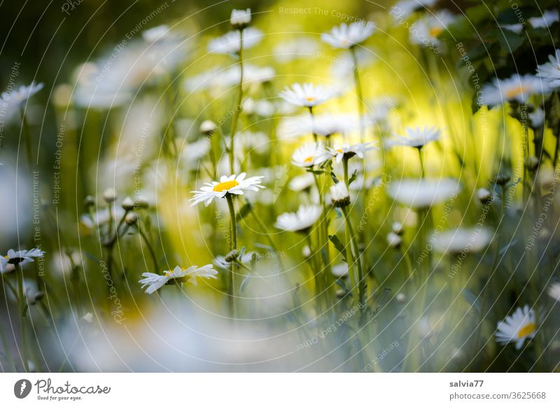 daisy meadow Flower meadow marguerites Summer Nature flowers Plant bleed Meadow Blossoming spring Fragrance Beautiful weather Exterior shot