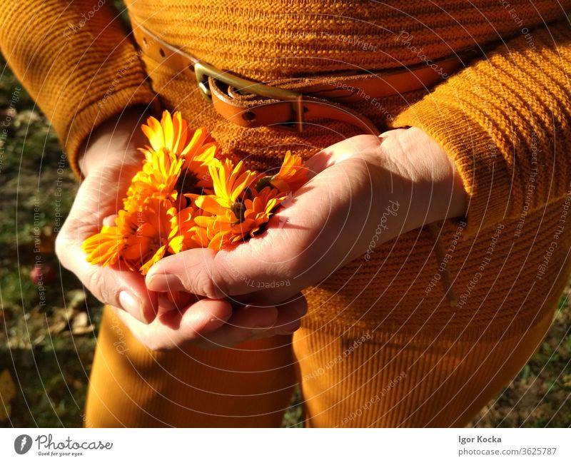 Close-up Of Woman Holding Orange Flowers flower orange color hands Sunlight holding Fragile Vulnerable Delicate Plant Blossom