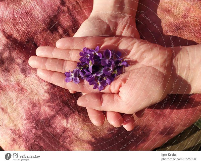 Close-up Of Woman Holding Purple Flowers Violet plants flower hands holding Fragile Vulnerable Delicate Plant Blossom