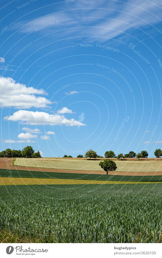 Landscape with fields in different colours (green, yellow, brown) which have an arched shape. Between the fields there is a single tree. Further on the horizon there are more trees. The sky is blue. There are single clouds.