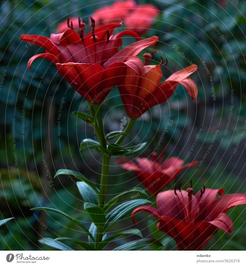 blooming red lilies with green stems and leaves in the garden lily nature flower plant background blossom flora stamen botany bouquet beautiful closeup floral