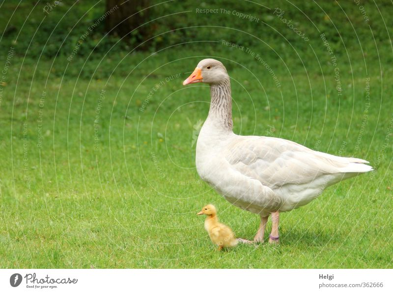 AST6 Inntal mother and child... Environment Nature Animal Spring Beautiful weather Grass Meadow Pet Farm animal Goose Gosling Chick 2 Baby animal Animal family
