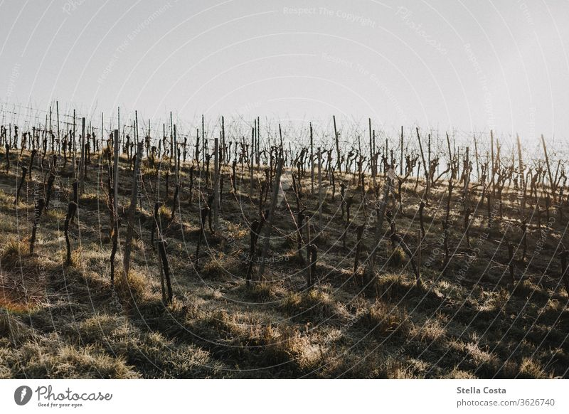 vineyard in winter Working in the vineyard Winemaker at work ecologic vine pruning Nature Close-up of hand Detail Winter Season Day Autumn Agricultural crop
