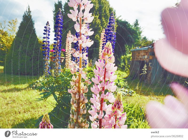 I'll race you Exterior shot Nature Plant flowers Deserted Blossoming Day bleed Environment Colour photo Garden Multicoloured spring green Lupin Sunlight Idyll
