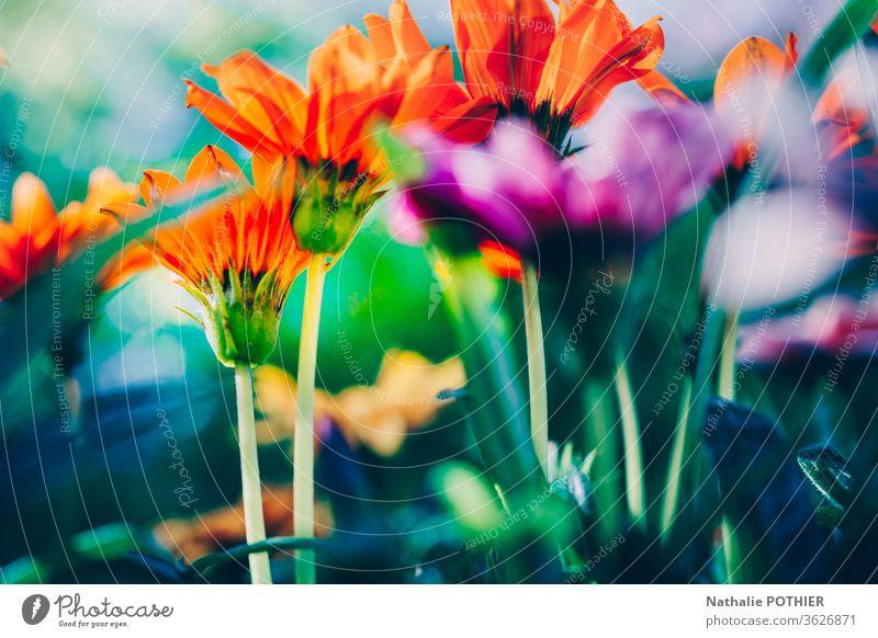 Close-up of the colourful gerbera in spring in the garden flowers Garden plants Gerbera pulsating Spring flower Spring colours Vibrant colour Bright Orange Pink