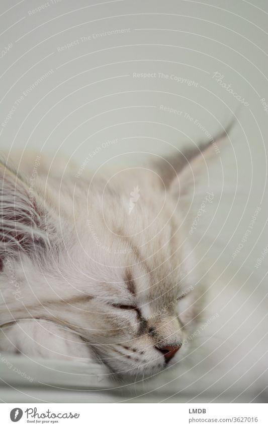Sleeping young cat Cat Kitten putty Pelt White-haired Animal portrait asleep sleeping cat Pet Cat food Cuddling Fluffy Soft won Rest tranquillity Restful Break