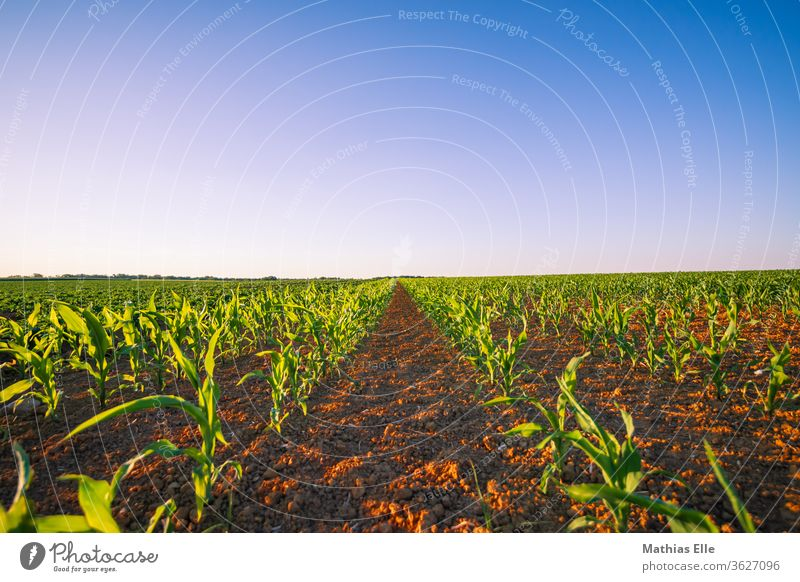 Arable land with young corn Field Nature Landscape Maturing time Moody Dusk already Middle Orange Maize field Color gradient Calm Evening green Plant
