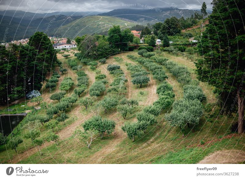 Apple tree plantation in Galicia, Spain apple tree trees agriculture galicia spain garden fruit grass green nature soothing fruit tree many farming cultivation