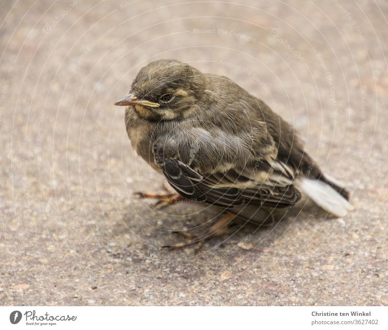 The small young wagtail / Motacilla alba sits alone on the ground and waits for food Wagtail Wippsteert fledglings cub Small hungry songbird Wait Sit Animal 1