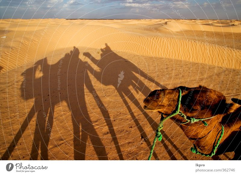 douze,tunisia,camel and people in the sahara's des Sand Clouds Paw Brown Yellow Gray Green Red Black White gold Tunisia Sahara desert Dune curved arcuated