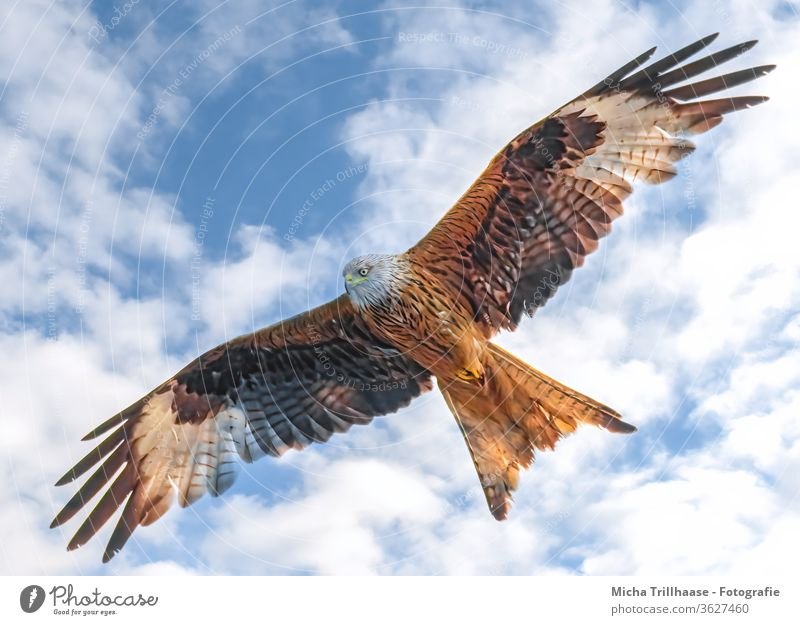 Red Kite in flight Red kite milvus milvus Bird of prey Bird in flight Head Beak Eyes Grand piano plumage feathers Wing span flapping Sky Clouds Sun sunshine