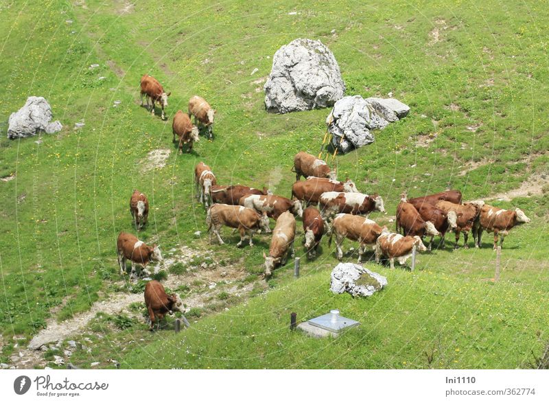 AST6 Inntal Almauftrieb... Environment Nature Landscape Plant Animal Spring Beautiful weather Grass Meadow Rock Alps Mountain Pet Farm animal Cow Herd To feed