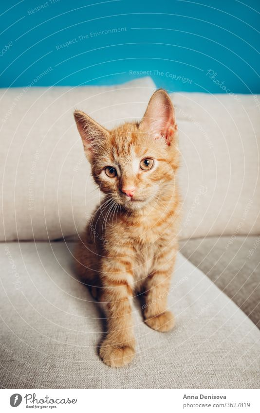 Cute ginger kitten sits cute cat relax sofa living room pet baby manx tailless no tail bobtail home cozy comfort resting fluffy sleeping kitty adorable child