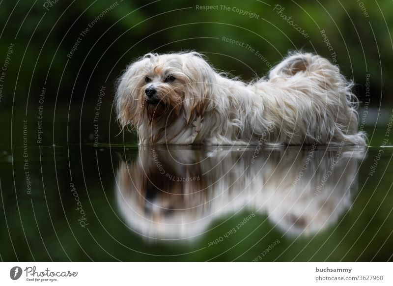 Dog is in water Bichon Havanais Pet Water cooling Havanese bathe Copy Space bottom Outdoors Nature Longhair Sweet Small fuzzy fluffy reflection