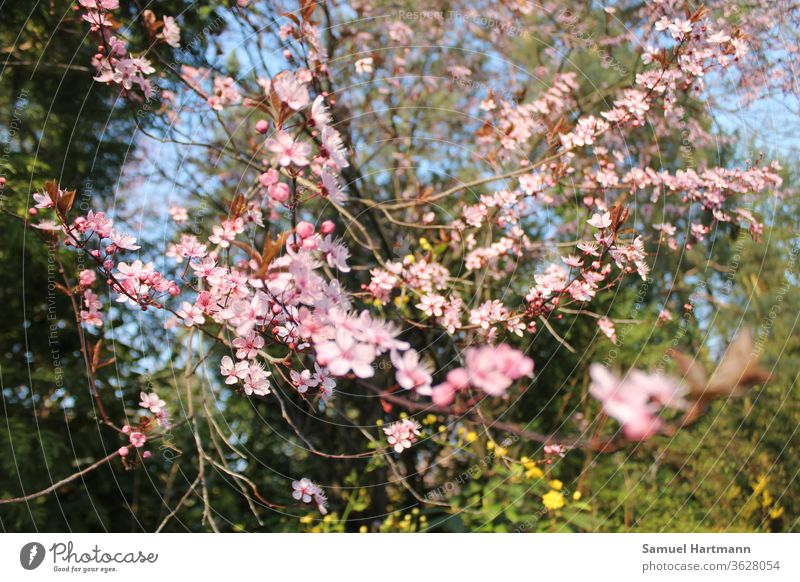 pink tree blossoms in spring light Happiness Fresh Multicoloured Shallow depth of field Day green Spring colours Spring flowering plant come into bloom