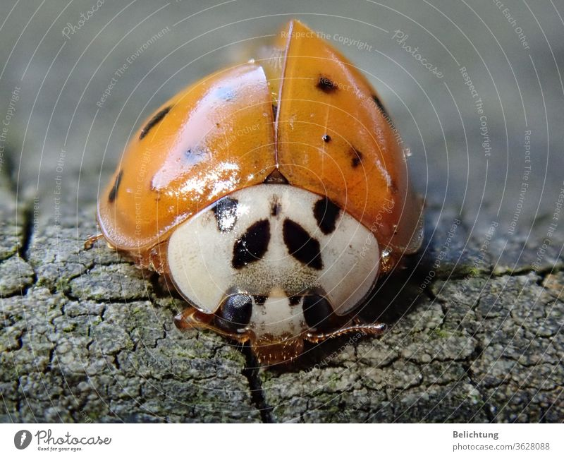 Ladybird Macro animals insects Beetle Macro (Extreme close-up)