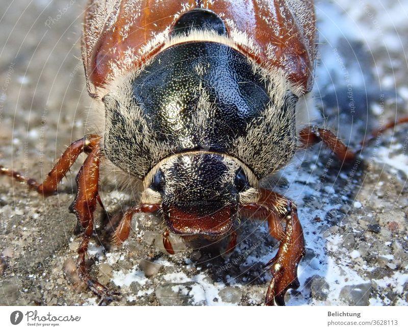 Cockchafer Macro animals insects Beetle May bug Macro (Extreme close-up)
