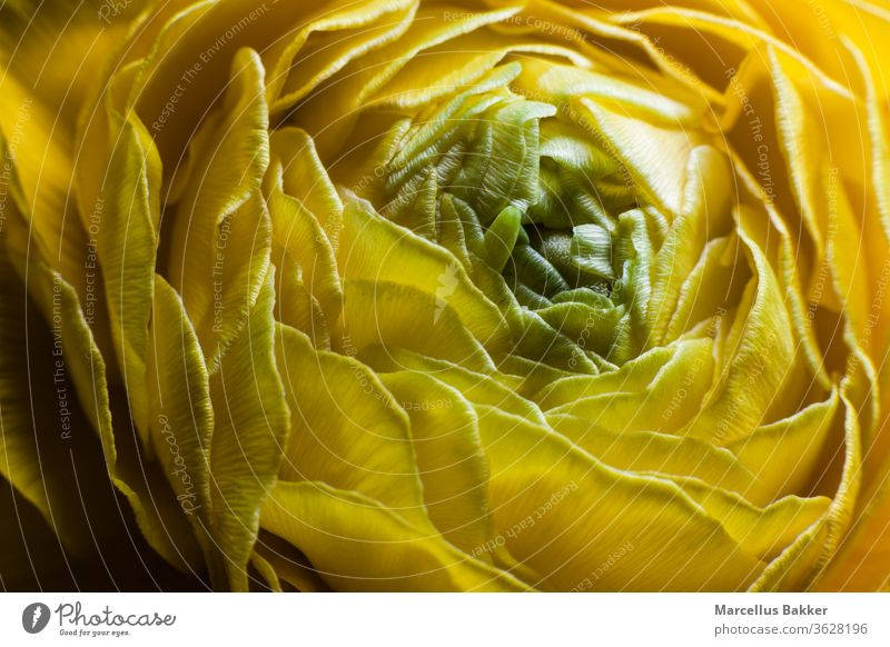 Yellow Ranunculus flower blooming agriculture arranging flowers background beautiful beauty blossom botanica bouquet bright bud buttercup close closeup color