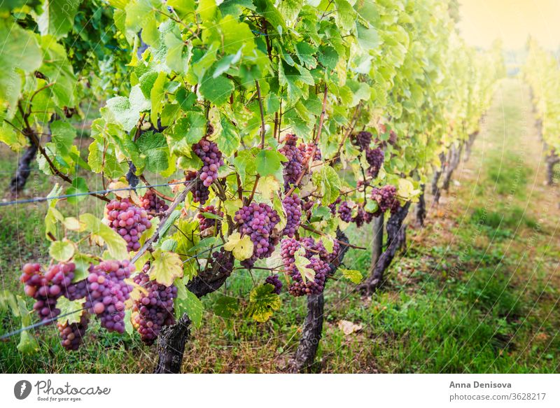 Ripe grapes in fall in Alsace, France vineyard wine harvest winery california france alsace background agriculture growing landscape farm fresh ripe viticulture
