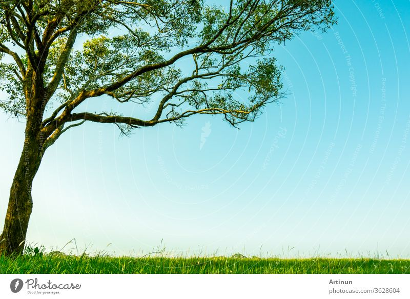 Big green tree with beautiful branches pattern and green grass field with white flowers on clear blue sky background on beautiful sunshine day. shade light