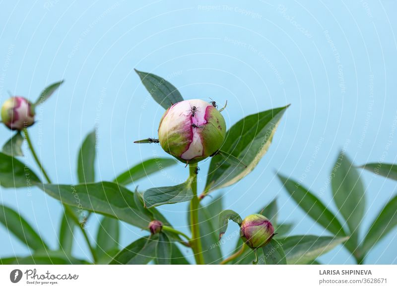 Black garden ants eating nectar on peony bud. Insect pests on flowering flower head on blue background nature macro leaf green insect insects plant closeup