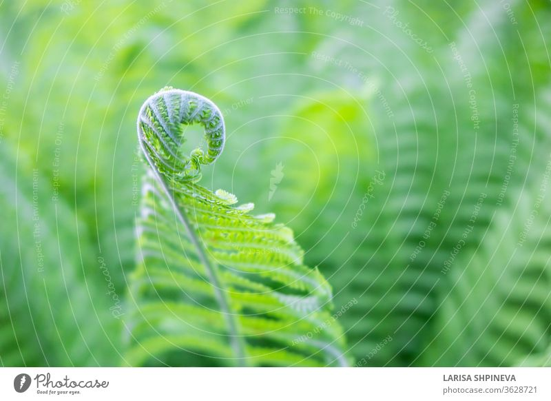 Beautiful fresh green young shoots stems spiral of fern leaves on natural background, copy space. leaf nature growth plant new garden environment freshness