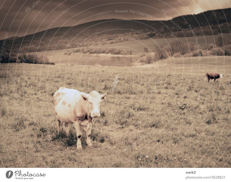 She just stood there and looked at me reproachfully chill Stand grasses Wait eye contact Observe Meadow paddock hillock Sunlight Sepia Storm clouds