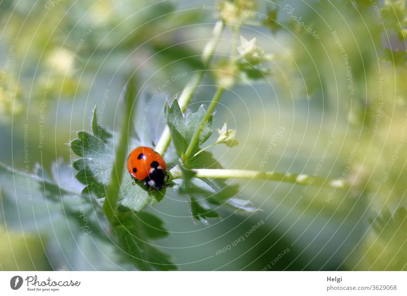 small beetle - ladybird sitting on a leaf of a green plant Ladybird Insect Beetle Good luck charm Animal Nature Exterior shot Colour photo Close-up 1 Deserted