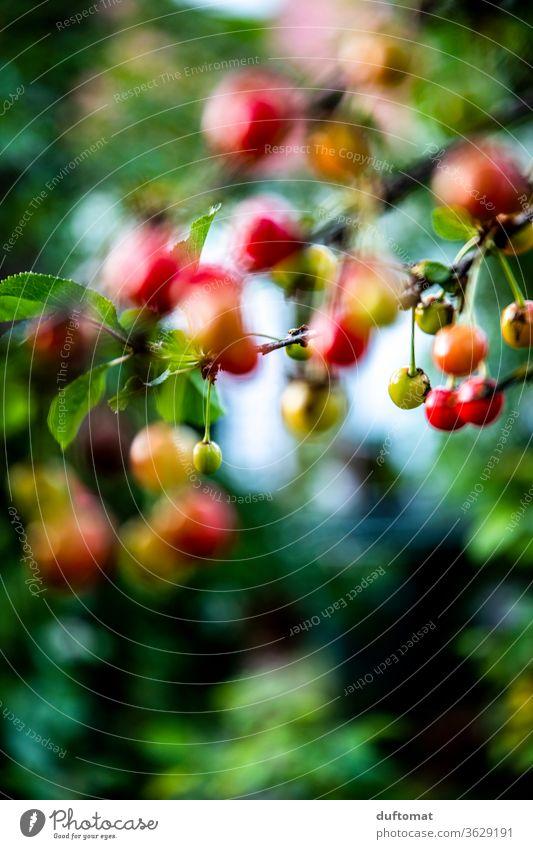 Cherries in the neighbour's garden Cherry cherries Cherry tree Summer fruit Garden Sweet Harvest Juicy prunus Delicious Mature Healthy Food Seasons Sour cherry