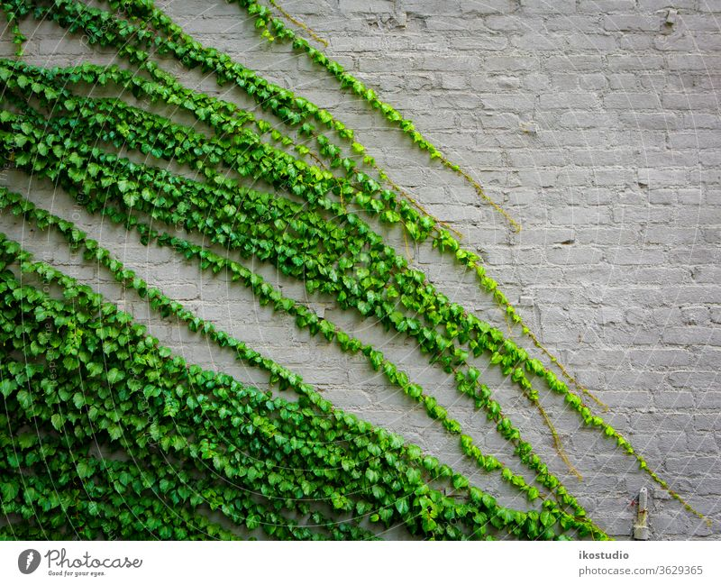 Ivy plant ivy wall background nature green brick texture climbing climber creeper old natural stone botany wallpaper design pattern decoration white leaf