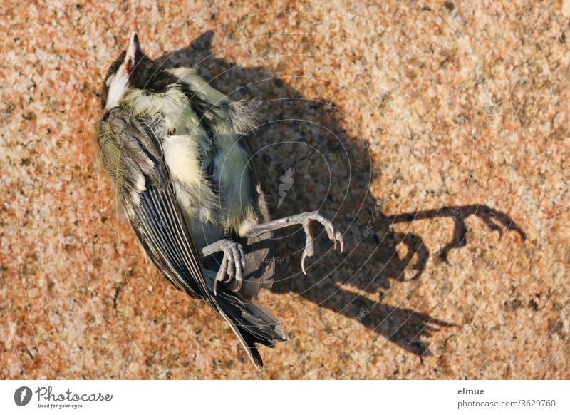 dead great tit lies on a stone slab, legs and tail cast shadows Tit mouse prey animal birds Shadow bird leg Feather Beak perished End pass Grand piano flown out