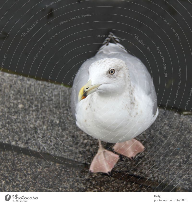 Herring gull stands on the banks of the Alster and looks up at the photographer with a begging look Seagull Silvery gull birds seabird Beg hungry hunger Animal