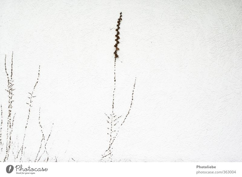 A little wall plant Environment Nature Autumn Plant Wild plant Village Deserted Detached house Wall (barrier) Wall (building) Esthetic Bright Small Brown White