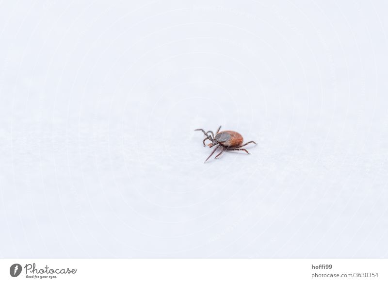 the tick comes... Deer tick Insect Pine claw carrier Mites parasitic arachnids Tick Threat Disgust Summer Dangerous Illness Animal Animal portrait Small