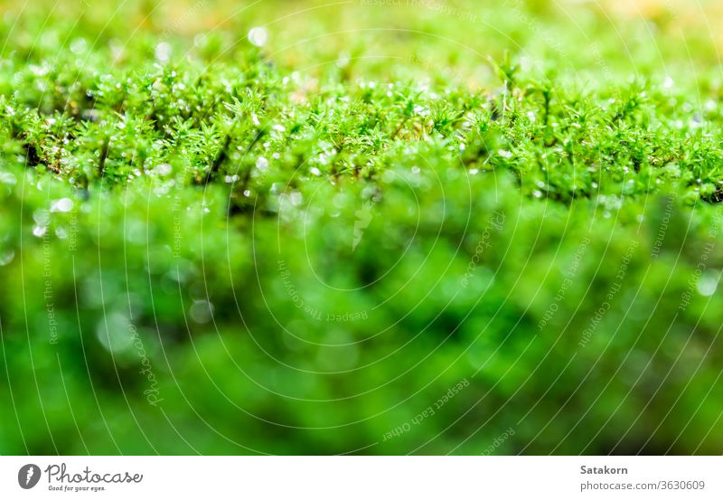 Freshness green moss growing on floor with water drops in the sunlight dew nature fresh macro garden forest wet algae lush beauty tropical season outdoor park