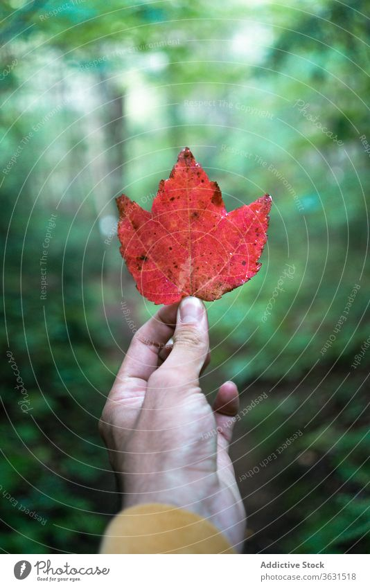 Anonymous male traveler in forest with red leaf man hike nature tree autumn algonquin provincial park canada ontario plant hand foliage environment adventure