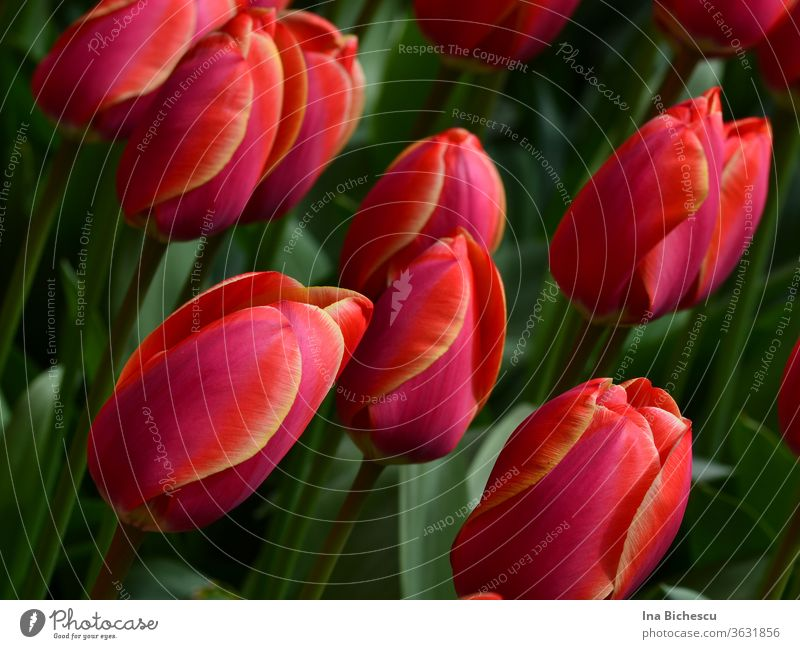 Several pink red tulips with yellow stripes on the petals between their green leaves. bleed flowers Garden Yellow Nature natural already romantic floral
