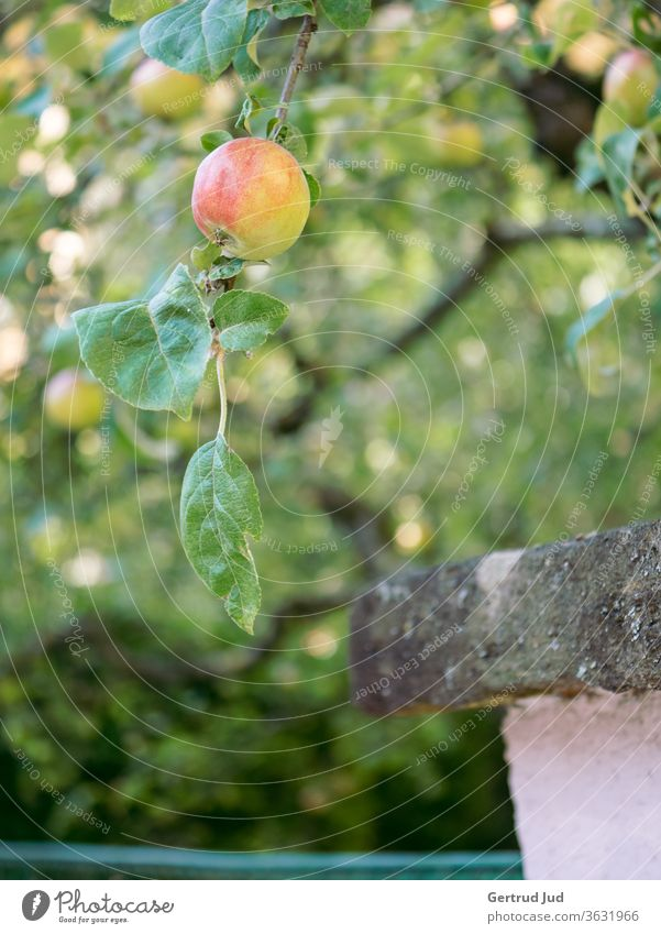 An apple hangs from a branch above the fence Flowers and plants Grass Graz Summer Nature Plant Garden Exterior shot green Colour photo Close-up natural Growth