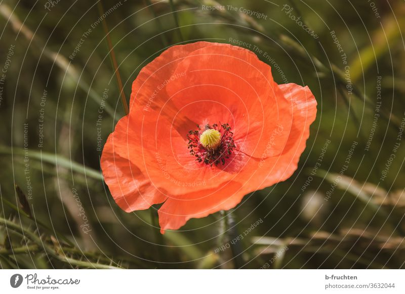 single poppy flower, poppy blossom- close-up Poppy Summer flowers Nature bleed Red Meadow Poppy blossom Blossoming Wild plant Corn poppy Field Deserted Plant