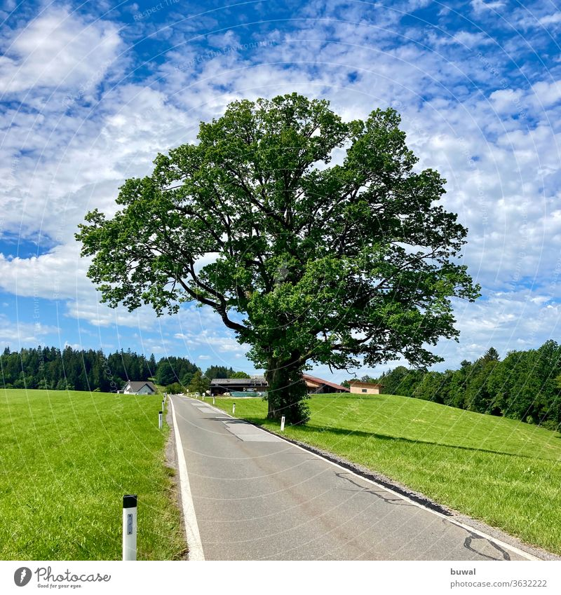 A beautifully grown, mighty oak tree on the edge of a country road huts Oak tree Landscape Moeggers oak mountain Alpine foothills Hilly landscape Country road