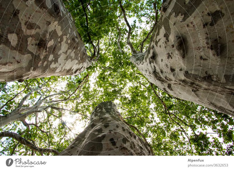 If three trees meet......... Tree trunk Nature Environment Exterior shot Forest green Day Branch Deserted Plant Worm's-eye view Tree bark Colour photo flaked
