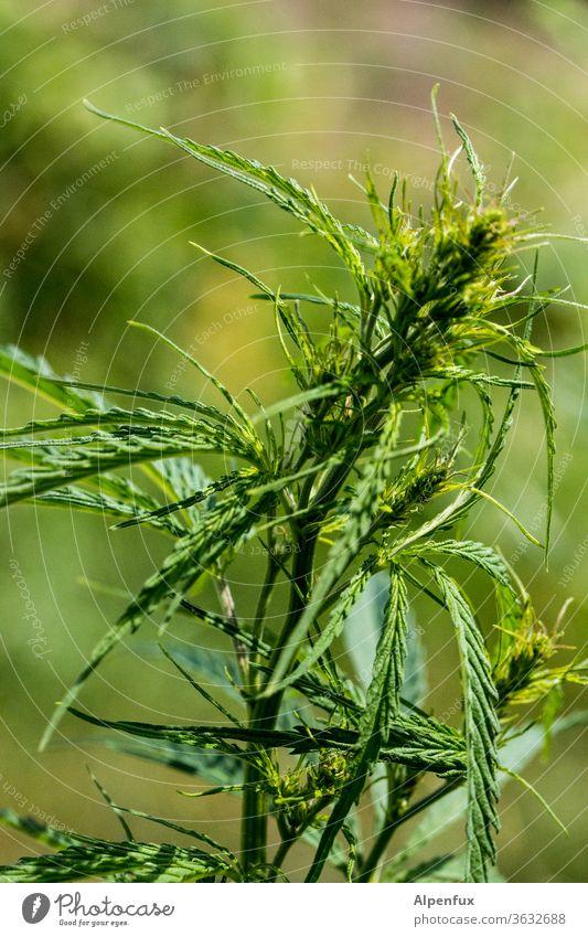 breakfast Marijuana Cannabis Medication Hemp natural Marijuana buds Plant Weed narcotic Intoxicant medicine Illegal Hashish Healthy Alternative Grass sativa