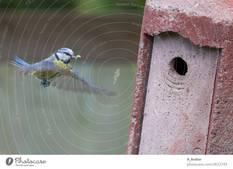 Blue tit in flight in front of the nesting box Tit mouse birds bird box Flying Animal Colour photo Nature Wild animal Grand piano Feeding Exterior shot