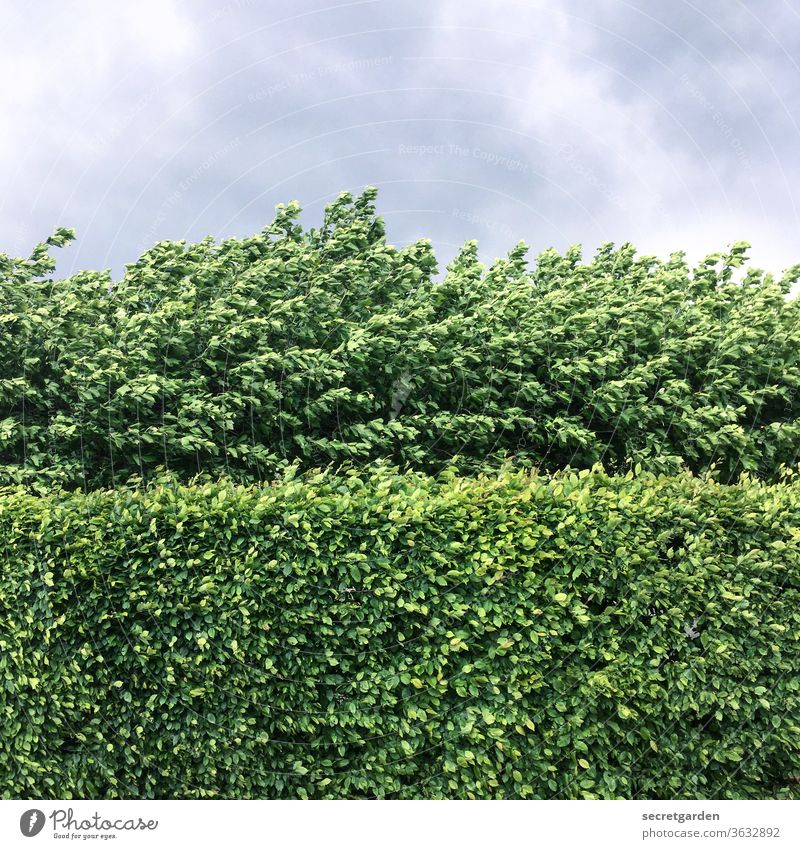 Sometimes the wall is thicker than you can break through. Wall (barrier) Nature shrub Minimalistic graphically Pattern Direct Hedge hedge trimming cut