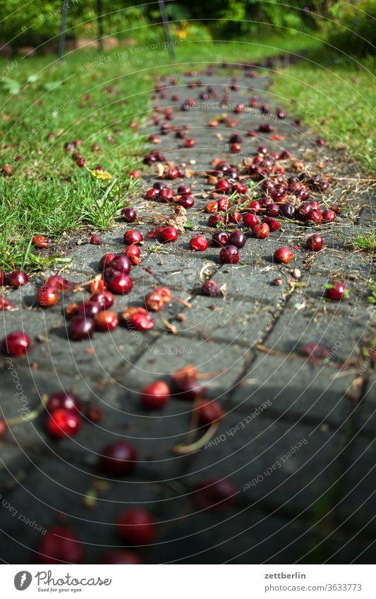 Cherries on the garden path Harvest Garden Garden plot allotment Cherry cherries fruit Vitamin vitamins Stone fruit Pomacious fruits Windfall Mature overripe
